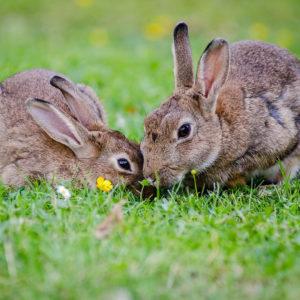 deux lapins cohabitation