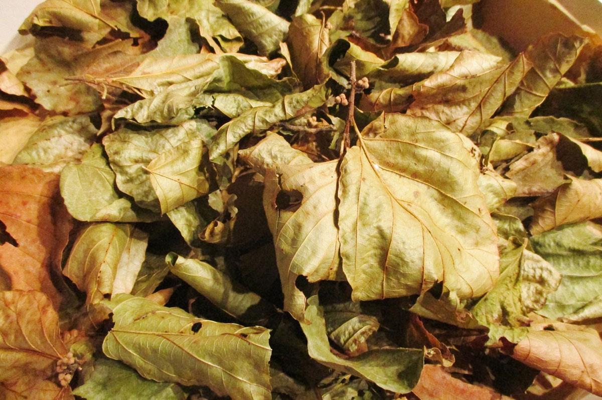 feuilles-noisetiers-perigord