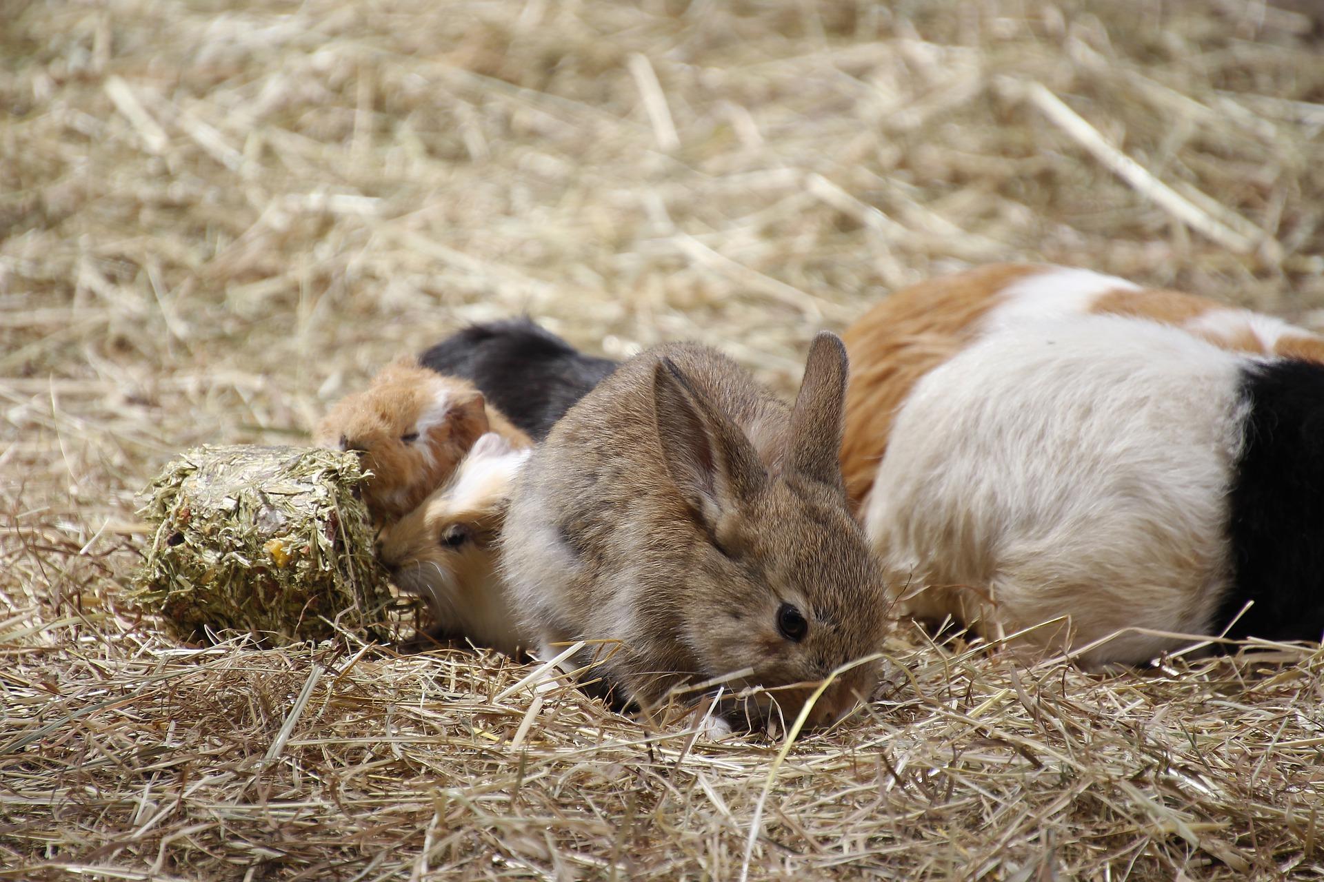 cohabitation lapis et cochon d'inde