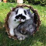 La communication chez le lapin