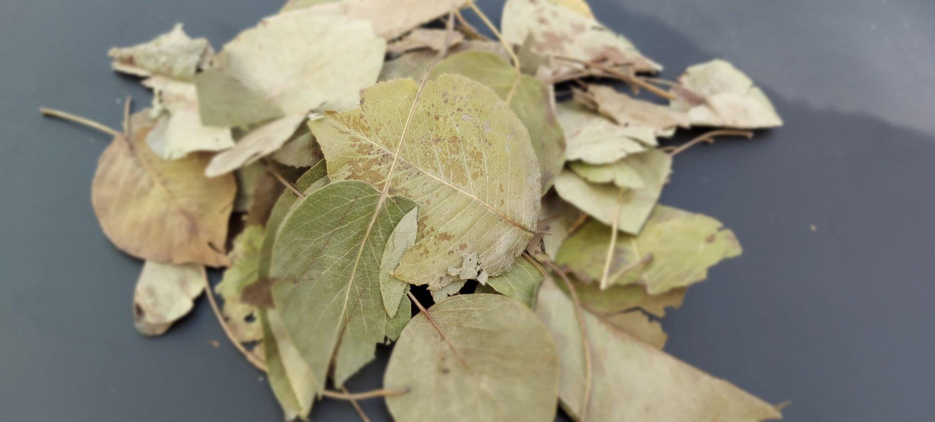 feuilles de poirier lapins rongeurs bamm