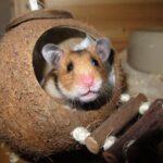 habitat hamster syrien