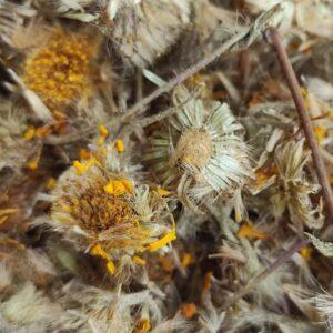 fleurs d'arnica pour lapins et rongeurs friandise octodons chinchillas cochons d'inde